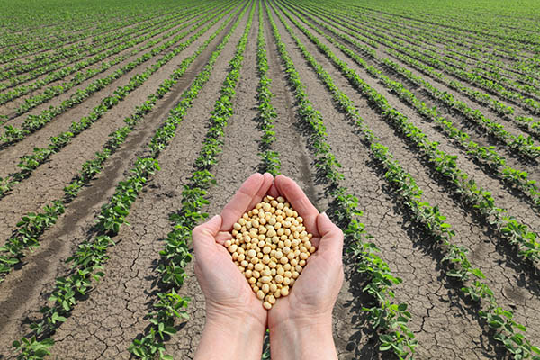 Hands holding soy bean seeds
